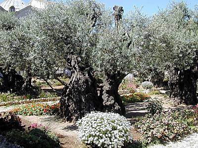 Olive trees in Gethsemane