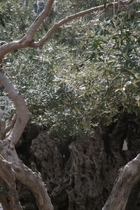 Olive Tress in Gethsemane